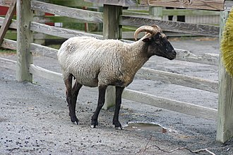 The Livestock Conservancy - A Hog Island ewe, a breed listed as critical