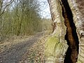 Hollow tree near The Sarts - geograph.org.uk - 437952.jpg
