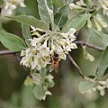Honey bee foraging on Autumn Olive.jpg