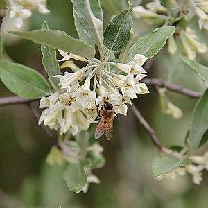 Elaeagnus umbellata - Blossoms