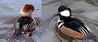 Hooded.merganser.arp.600pix