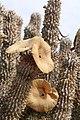 Hoodia gordonii (Apocynaceae- Asclepiadoideae) (37060267570).jpg