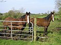 Horses, Beltany - geograph.org.uk - 1256196.jpg