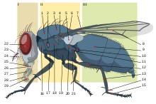 Housefly anatomy-key.svg