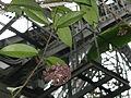 Hoya purpureofusca1.jpg