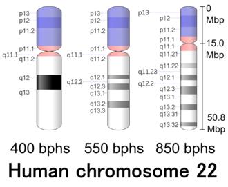 Chromosome 22 (human) - Image: Human chromosome 22 400 550 850 bphs