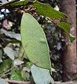Humboldtia brunonis 03.JPG
