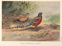 Hume's Barred-backed Pheasant by George Edward Lodge.png