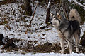 Husky de Sibérie 3.jpg