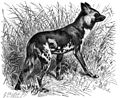 Hyaenenhund-drawing.jpg