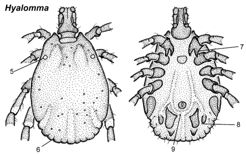 Hyalomma-male-dorsal-ventral.png