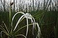 Hymenocallis littoralis @ KL.jpg