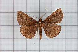 Hypena iconicalis.jpg