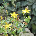 Hypericum pallens-IMG 5534.jpg