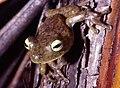 Hypsiboas crepitans01a.jpg