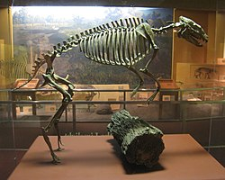 Hyracotherium vasacciensis - National Museum of Natural History - IMG 1989.JPG