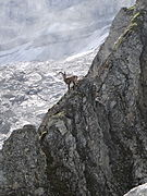 Ibex in the French Vanoise National Park.JPG