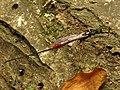 Ichneumon Wasp (34396553756).jpg