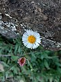 Idalgashinna view flower04.jpg