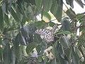 Idea malabarica - Malabar Tree-Nymph nectaring on Syzygium hemisphericum at Makutta (3).jpg