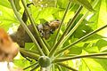 Iguana delicatissima in Picard, Dominica-2012 03 06 0522.jpg