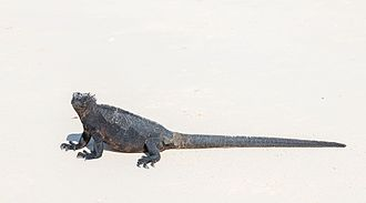 Marine iguana - Marine iguanas from Santa Cruz Island (subspecies hassi) are among the largest