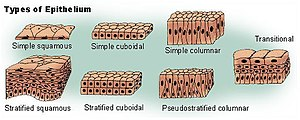 Squamous epithelium is one of several types of...