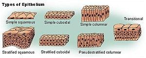 Verskillende vorme epiteelweefsel