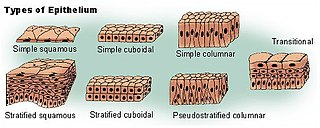 Simple squamous epithelium tissue type