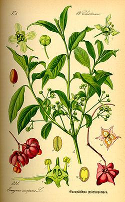 Illustration Euonymus europaea0.jpg