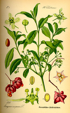 Celastrales -  Euonymus europaea, Celastraceae family
