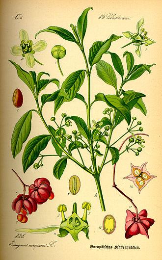 Euonymus europaeus - Image: Illustration Euonymus europaea 0