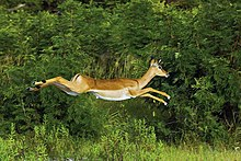 An impala mid-air during a leap