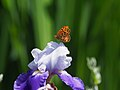 Indian Fritillary Butterfly Male ツマグロヒョウモン (258019633).jpeg