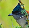 Indian Paradise Flycatcher Female.jpg