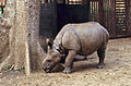 Indian Rhino (Rhinoceros unicornis) young orphan reared by the guards ... (20516705166).jpg