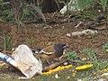 Indian magpie (ഓലഞ്ഞാലി കിളി ).jpg