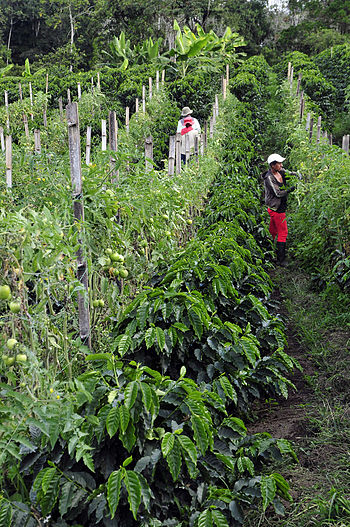Intercropping coffee tomatoes.jpg
