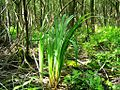 Iris alnetum.jpg