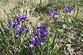 Iris ruthenica - Bucegi, Jepii mici 2.jpg