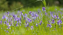 Irisblüte im Naturschutzgebiet Eriskircher Ried (NSG-Nummer 4.020) am Bodensee.jpg