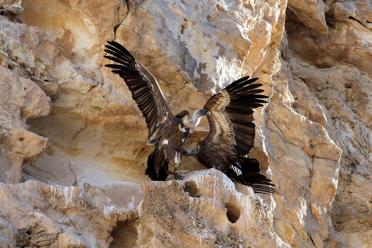 https://upload.wikimedia.org/wikipedia/commons/thumb/8/8f/Israel._Griffon_vulture_%2815787690146%29.jpg/1280px-Israel._Griffon_vulture_%2815787690146%29.jpg