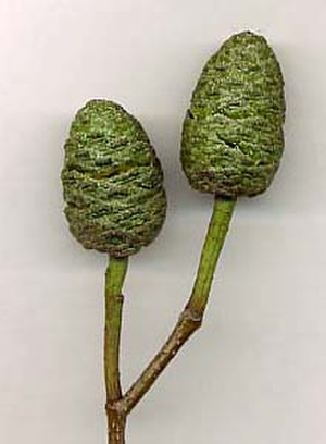 Alnus cordata - Italian Alder mature female (seed) catkins