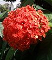 Ixora coccinea flowers in Guntur.jpg