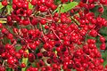 J20151125-0008—Heteromeles arbutifolia (23303059776).jpg