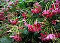 JNU Pink Flowers on a Shrub.jpg