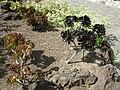 Jardín canario 59.JPG