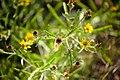 Jasonia tuberosa -1048 - Flickr - Ragnhild & Neil Crawford.jpg