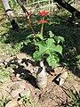 Jatropha podagrica 1 (4333640963).jpg