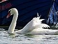 Jezioro Wdzydze, łabędź i łódka.jpg